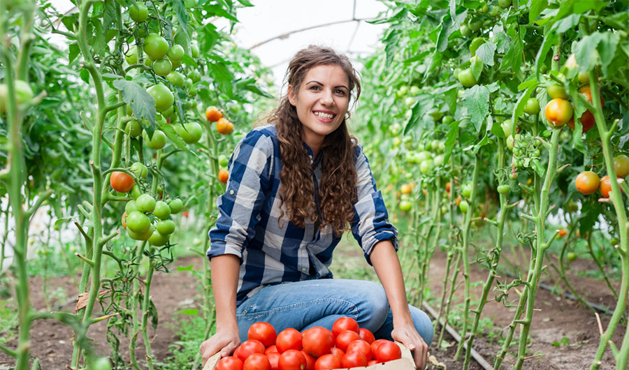 simply-learn-horticulture-specialised-tomato