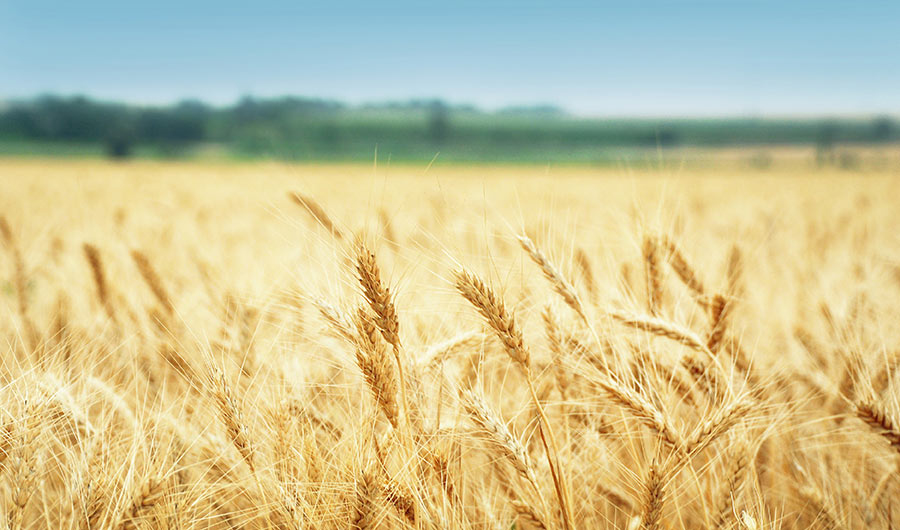 simply-learn-agriculture-wheat